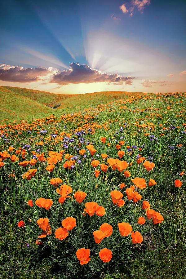 Poppy Paradise by Lynn Bauer