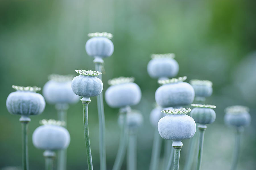 Poppy Seedheads Photograph by Photography By Anna Omiotek-tott