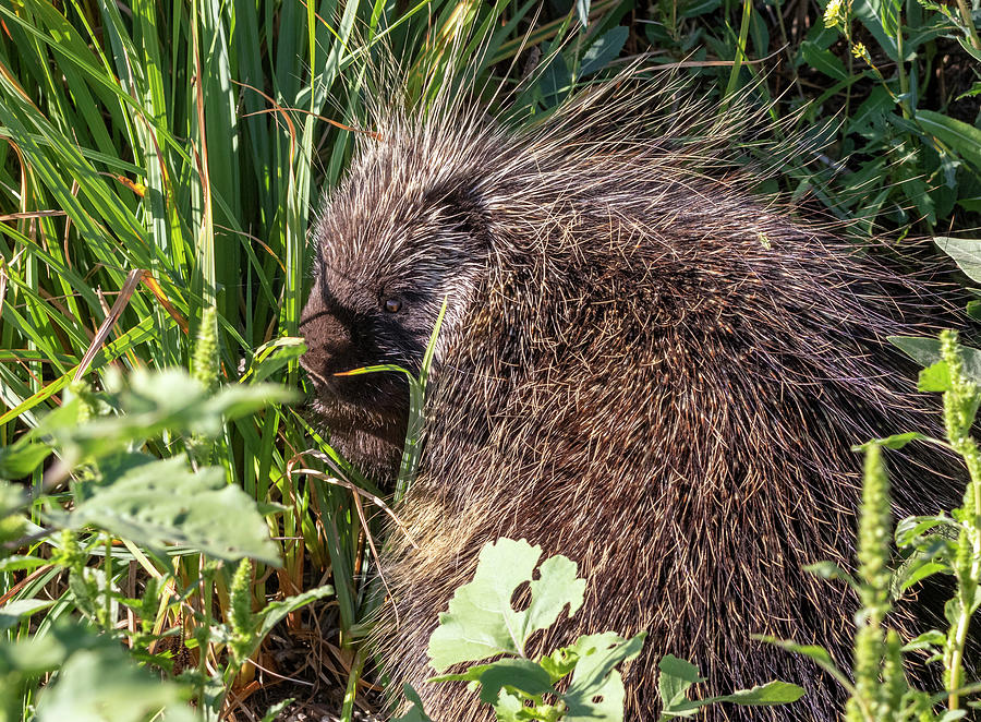 Porcupine 4 by Michael Chatt