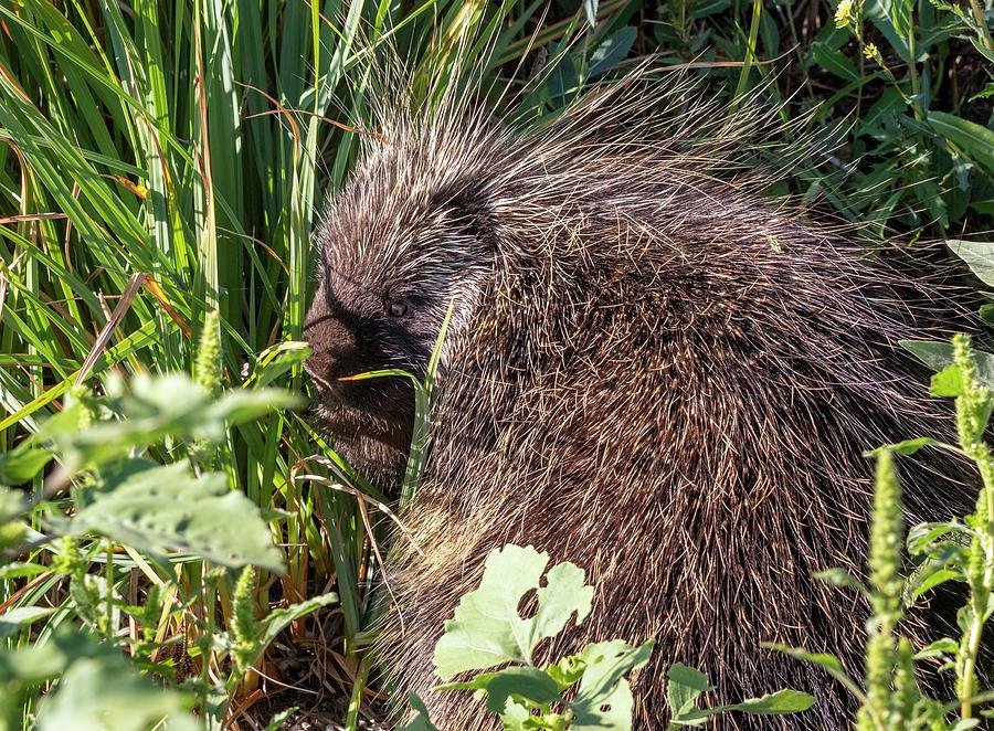 Porcupine 4 Photograph