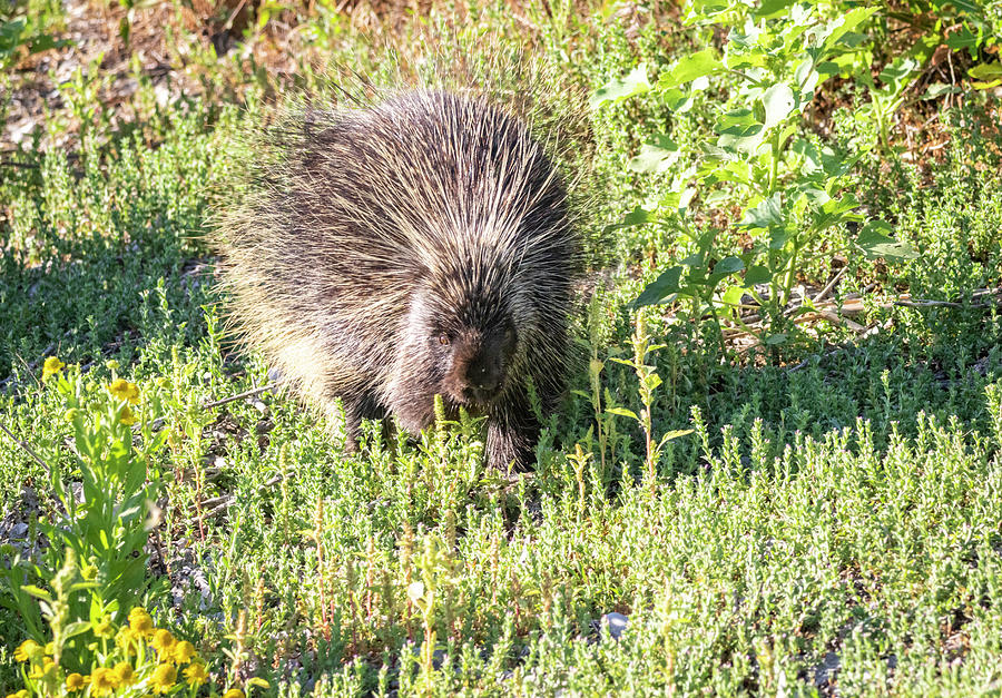 Porcupine by Michael Chatt