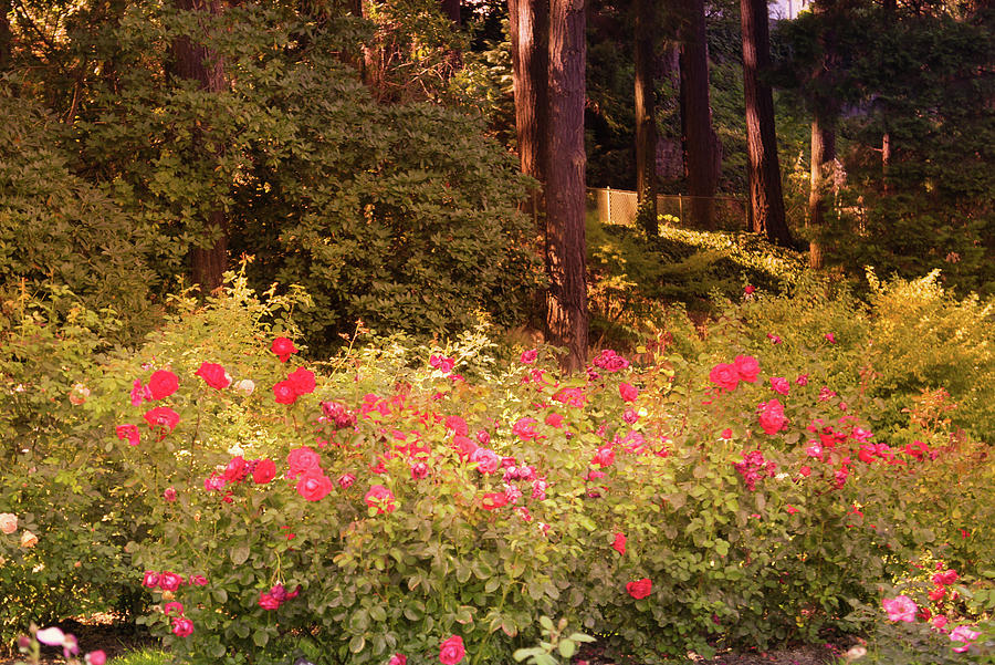 Portland Rose Garden Oregon Photograph By Art Spectrum