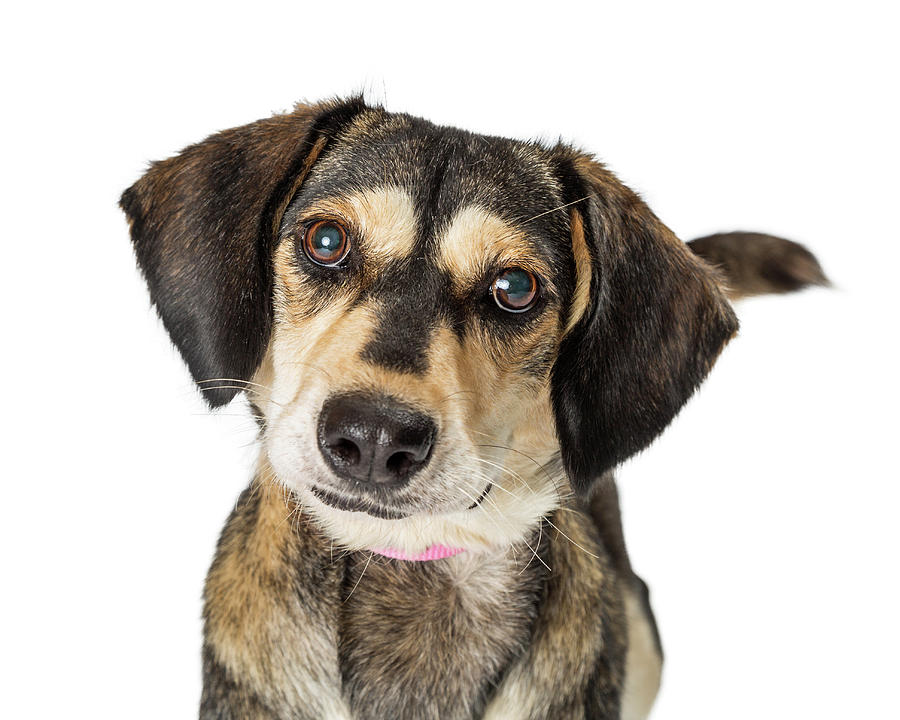 Dog Photograph - Portrait Cute Medium Size Crossbreed Dog by Susan Schmitz