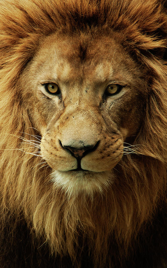 Portrait Male African Lion Photograph by Brit Finucci