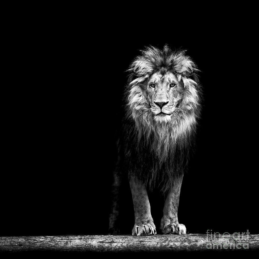 Leader Photograph - Portrait Of A Beautiful Lion, In The by Baranov E