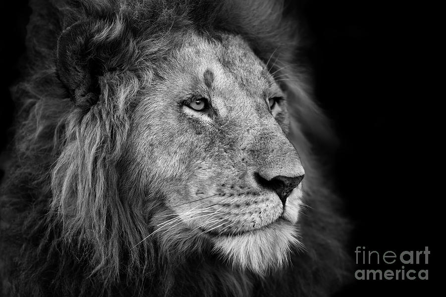 Big Photograph - Portrait Of A Big Lion From Rekero by Maggy Meyer