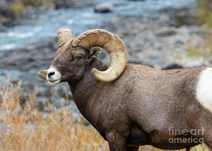 Portrait Of A Bighorn Ram Photograph