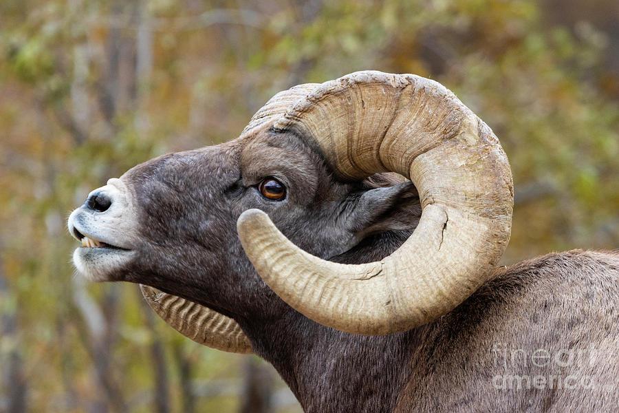 Portrait Of A Bighorn Sheep Ram Photograph