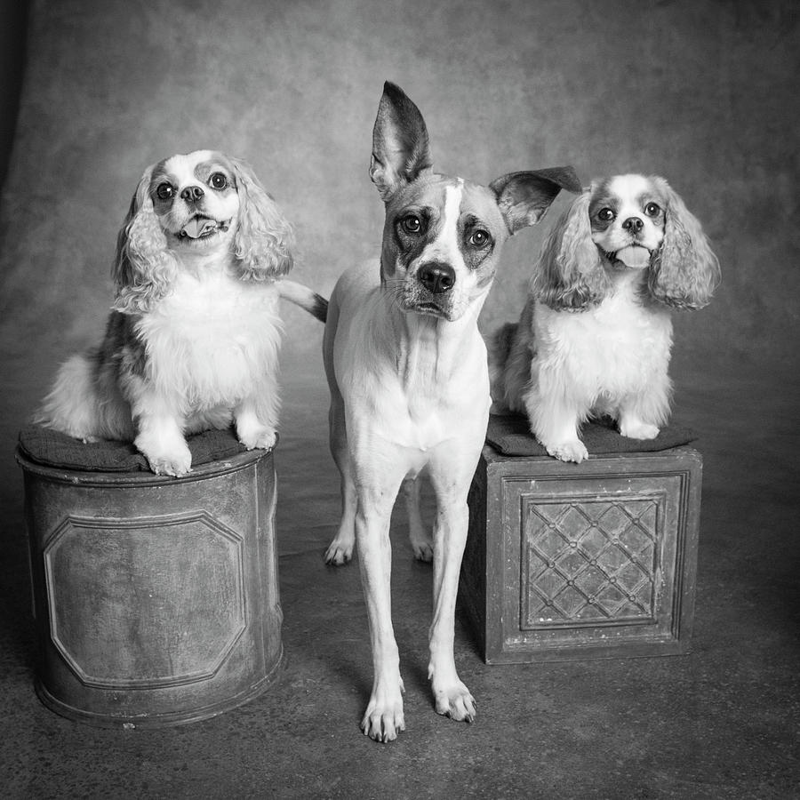 Horizontal Photograph - Portrait Of A Cattle Dog And Cavalier by Panoramic Images