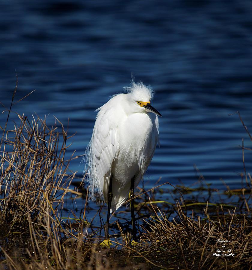 Portrait of a Egret by Kevin Banker