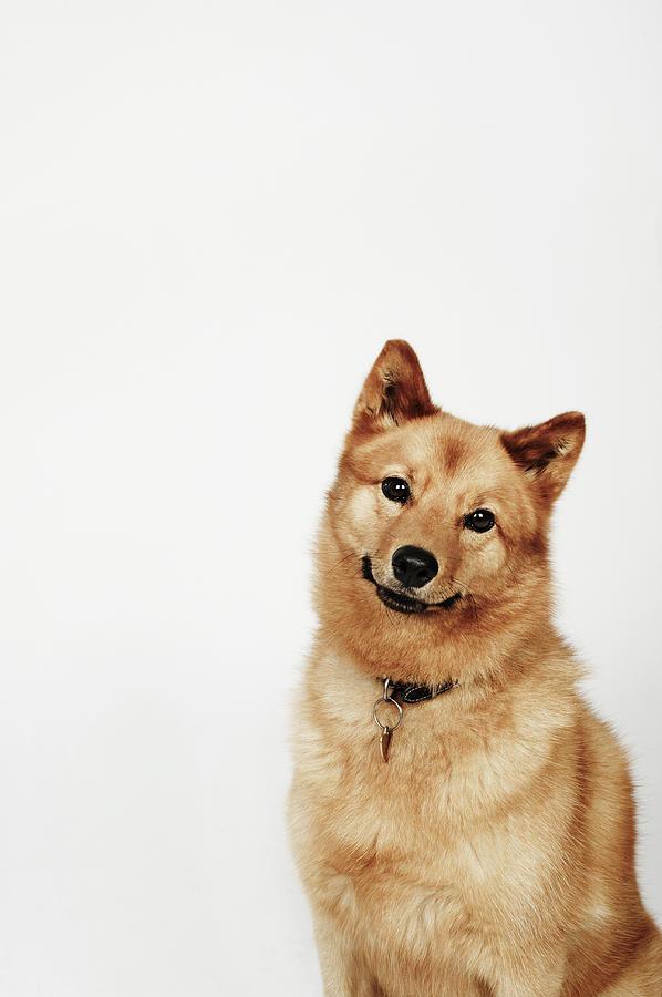 Portrait Of A Finnish Spitz Dog Smiling Photograph by Flashpop