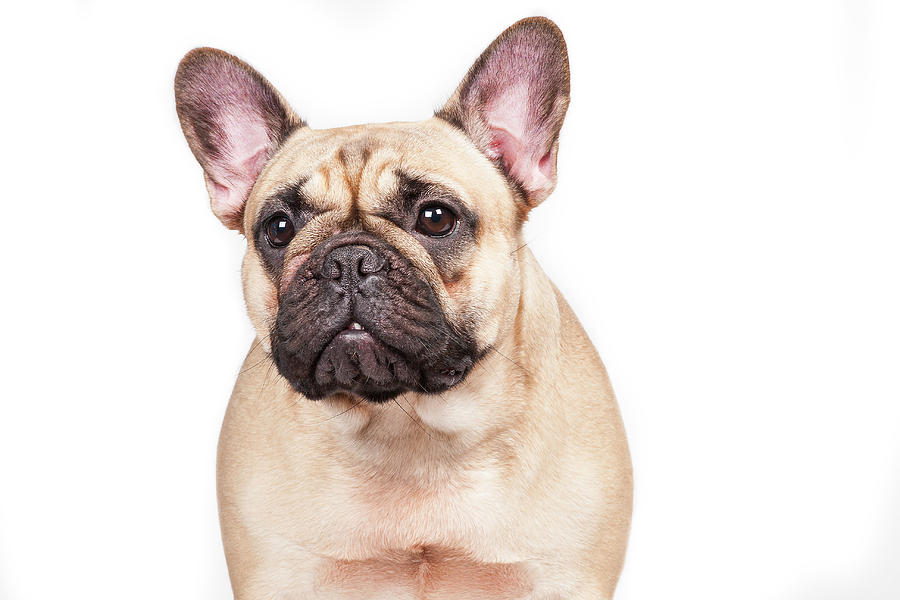 Portrait Of A French Bulldog Photograph by @hans Surfer