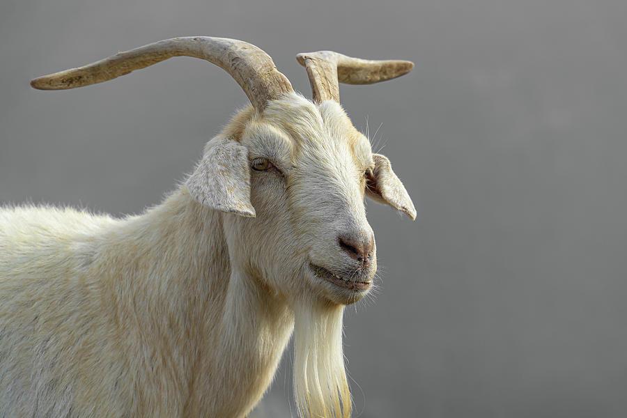 Portrait of a Goat by Dave Matchett