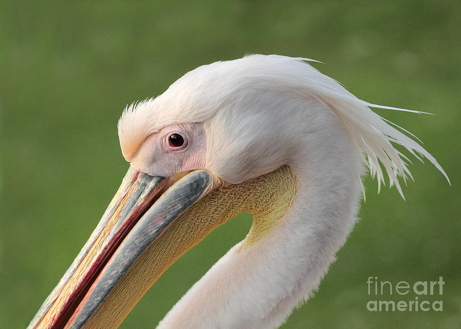Great White Pelican Photograph - Portrait Of A Great White Or Eastern by Pictureswild