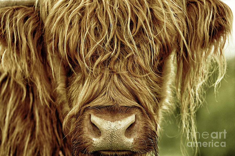Portrait of a Highland Cow in Black Gold by Maria Gaellman