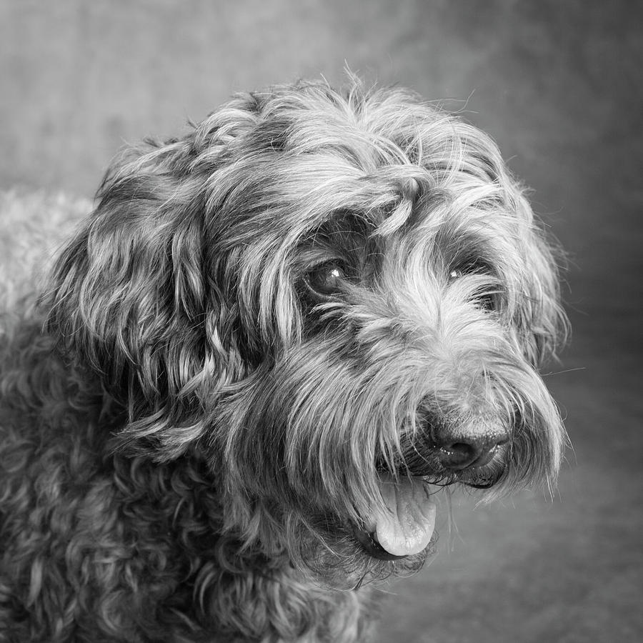 Horizontal Photograph - Portrait Of A Labradoodle Dog by Panoramic Images