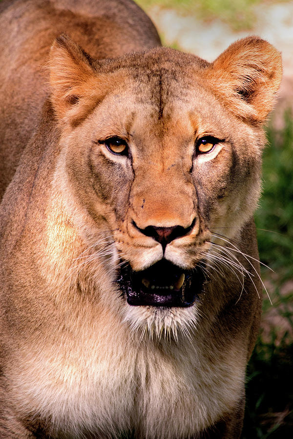 Portrait of a Lioness by Don Johnson