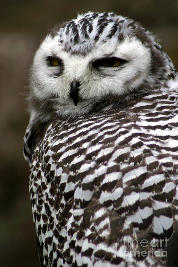 Big Photograph - Portrait Of A Majestic Spotted Owl by Paul Banton