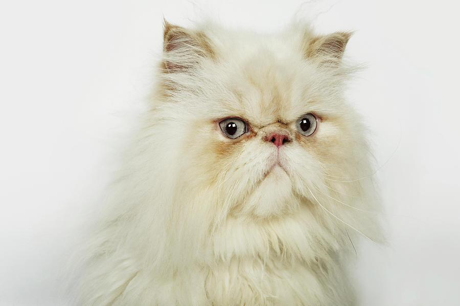 Portrait Of A Persian Cat Photograph by Flashpop