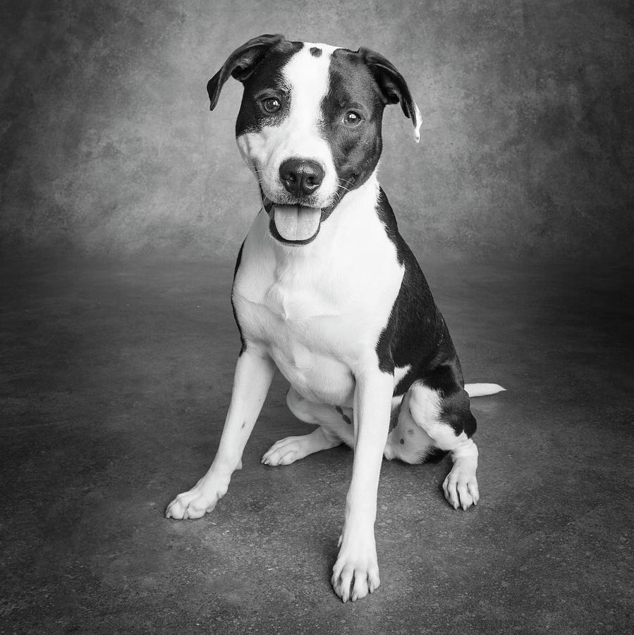 Horizontal Photograph - Portrait Of A Pointer Terrier Mixed Dog by Panoramic Images
