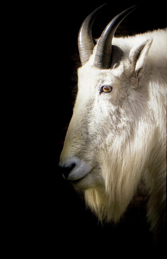 Portrait of a Rocky Mountain Goat by Peter Wagner