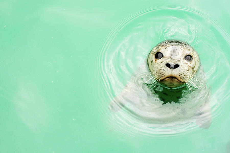 Portrait Of A Seal In Water Photograph by Jaime Kowal