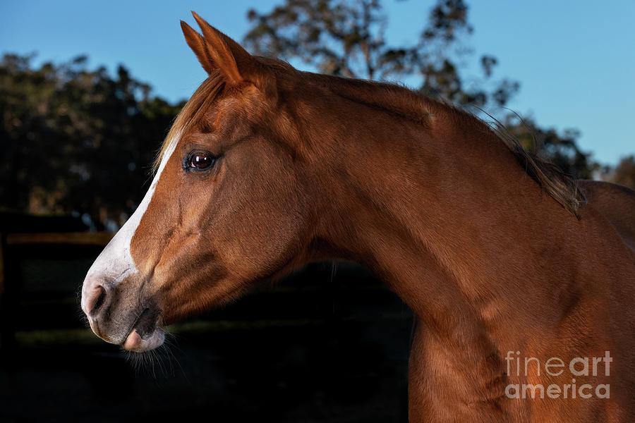 Portrait of a Sorrel Arabian Horse by Michelle Wrighton