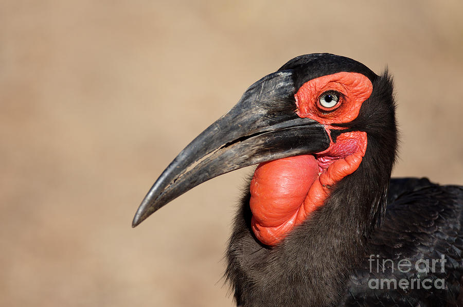 Big Photograph - Portrait Of A Southern Ground Hornbill by Johan Swanepoel
