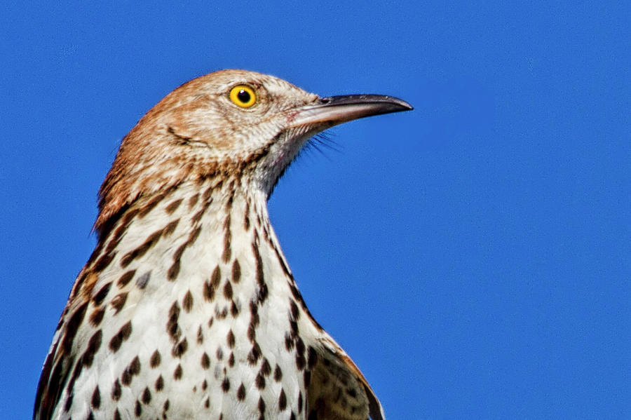 Portrait of a Thrasher by Bob Decker