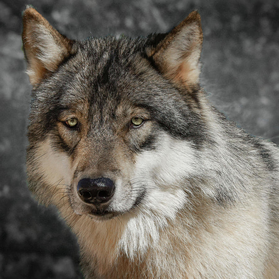 Portrait Of A Timber Wolf Photograph by Jeannee Gannuch