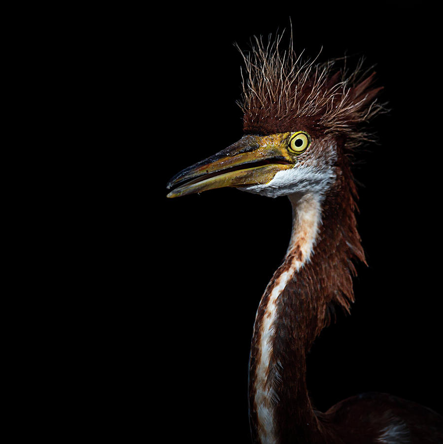 Portrait of a Young Heron by Cyndy Doty