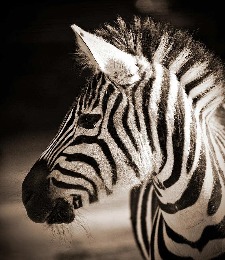 Portrait Of A Young Zebra Photograph by Cruphoto