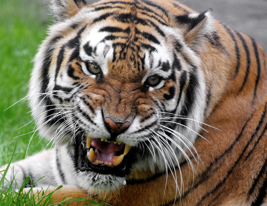 Portrait Of An Aggressive Bengal Tiger Photograph by Empphotography