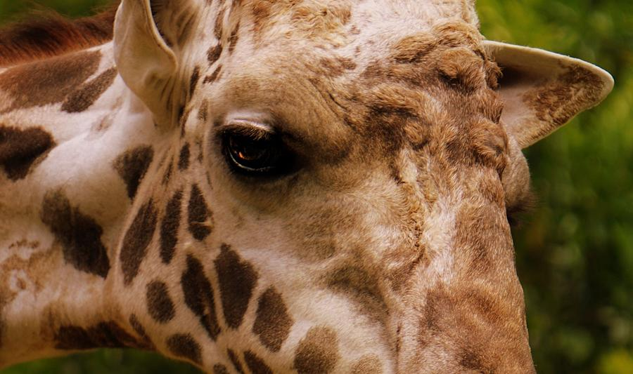 Portrait of Autumn the Giraffe by Kathy Barney