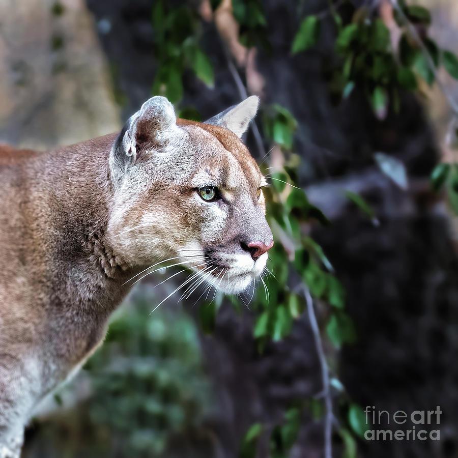 Big Photograph - Portrait Of Beautiful Puma Cougar by Baranov E