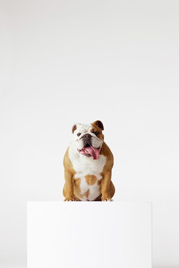 Portrait Of British Bulldog Sitting Photograph by Compassionate Eye Foundation/david Leahy