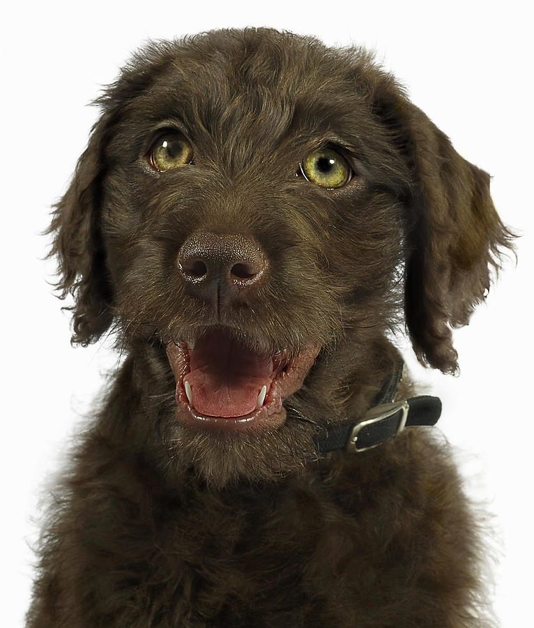 Pets Photograph - Portrait Of Brown Labradoodle Puppy by Gandee Vasan
