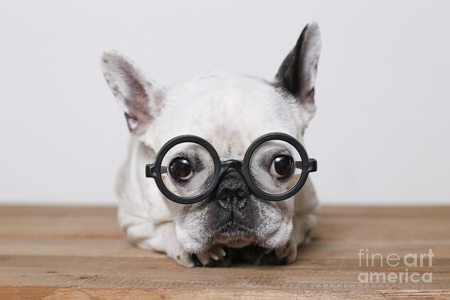 Portrait Of French Bulldog Wearing Photograph by Westend61