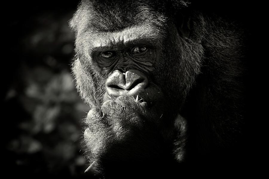 Portrait Of Gorilla Photograph by Markbridger