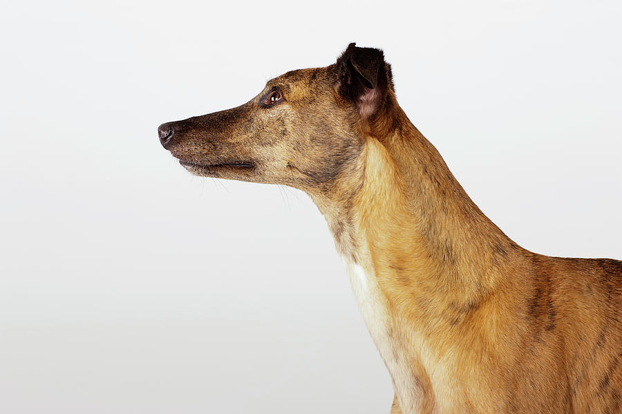 Portrait Of Greyhound, Side View Photograph by Compassionate Eye Foundation/david Leahy