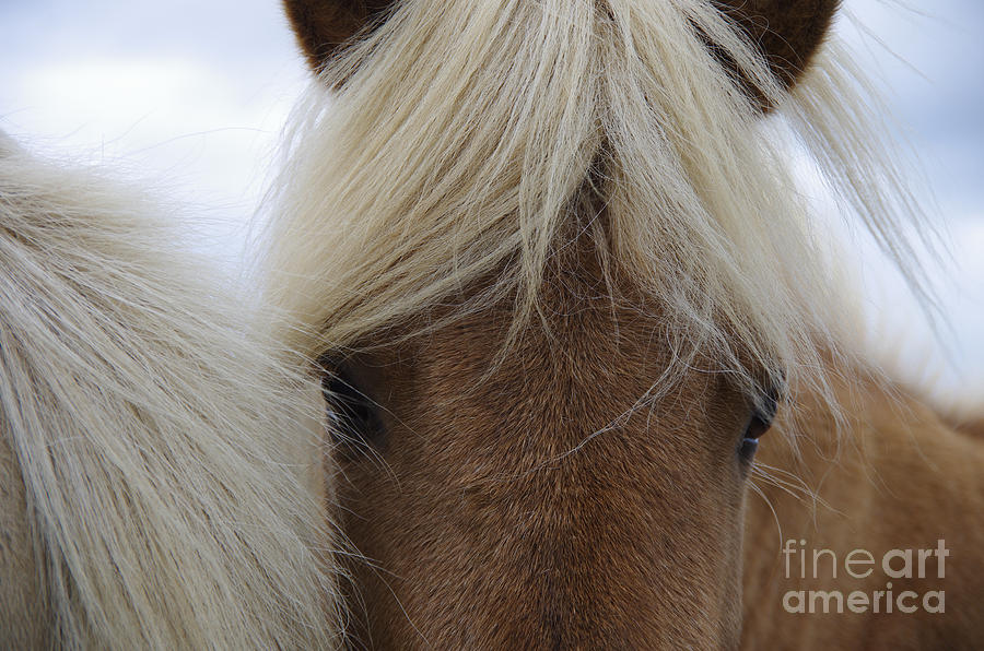 Fur Photograph - Portrait Of Icelandic Horses With Long by Igor Dymov