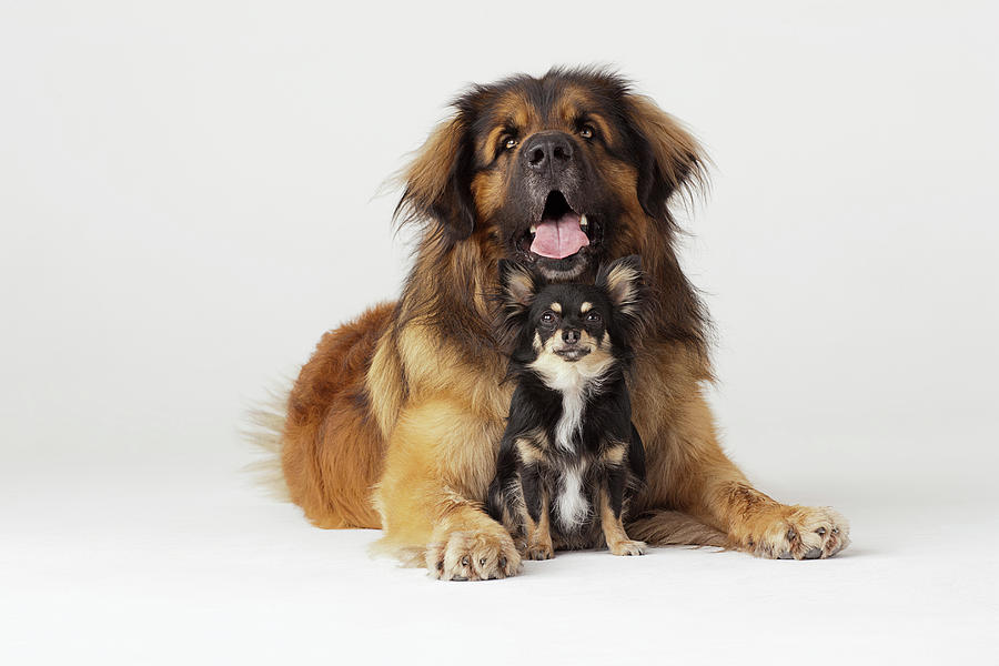 Portrait Of Leonberger And Chihuahua Photograph by Compassionate Eye Foundation/david Leahy