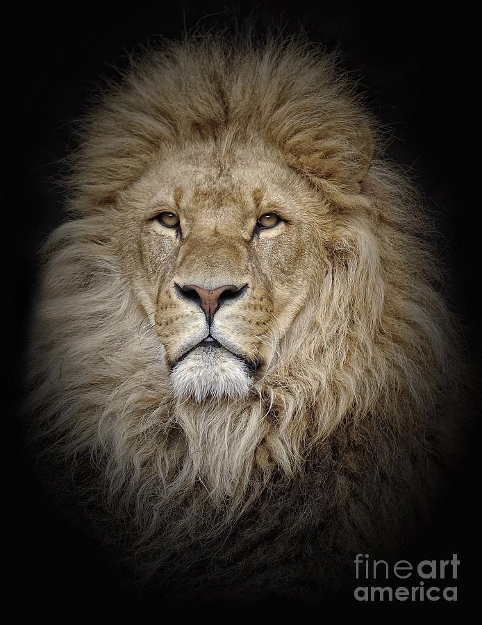 Portrait Of Lion Against Black Photograph by Stephan Naumann / Eyeem