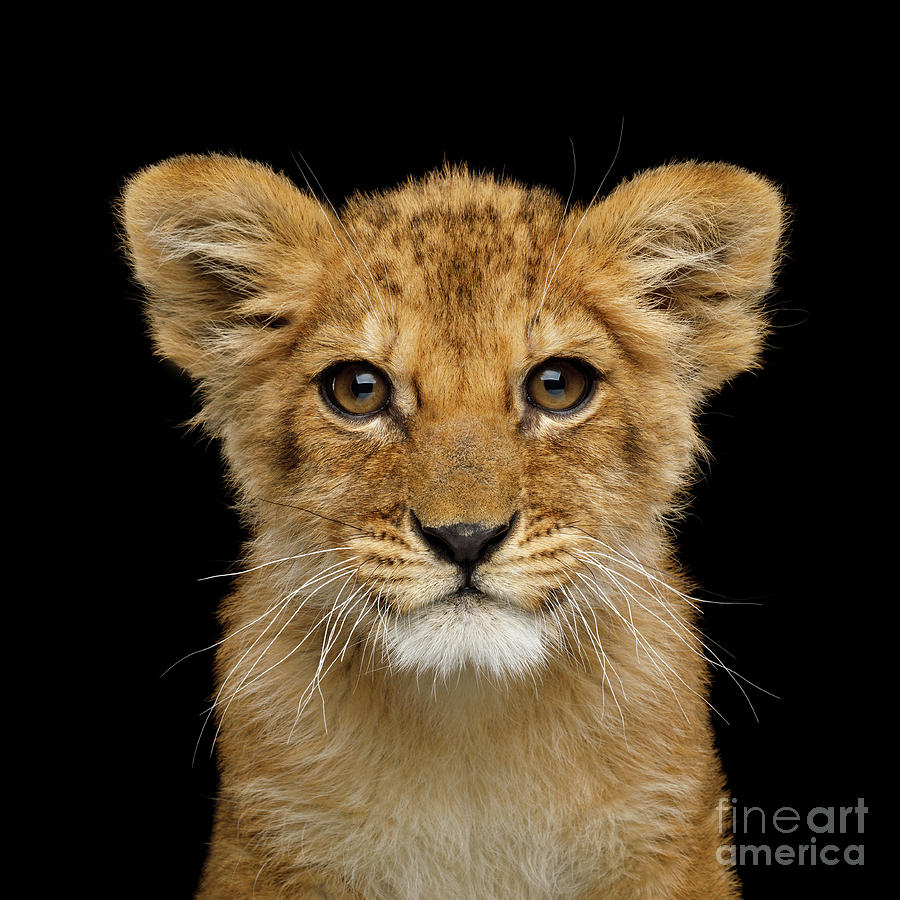 Portrait of little lion by Sergey Taran
