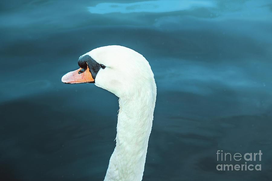 Portrait of majestic swan by Marina Usmanskaya