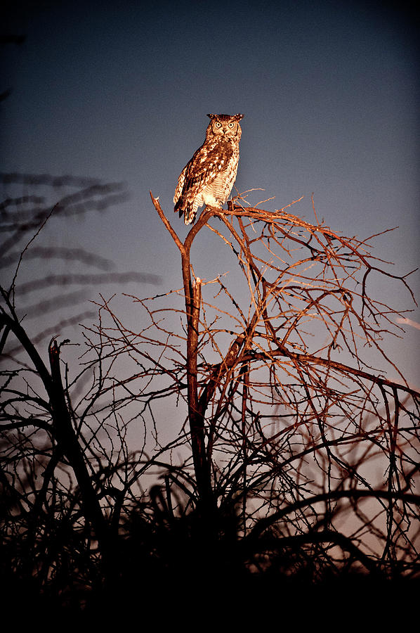 Portrait Of Owl Perching On Branch Of Photograph by Erik Leonsson
