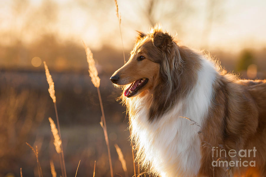 Haired Photograph - Portrait Of Rough Collie At Sunset by Grigorita Ko