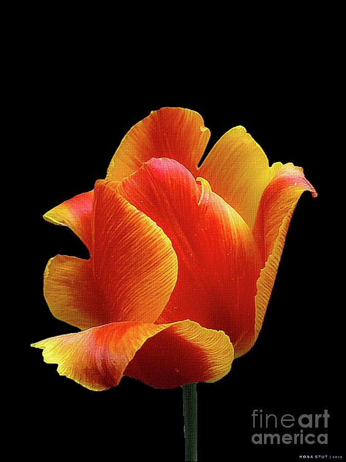 Portrait Of Tulip In Yellow Orange Red Photograph