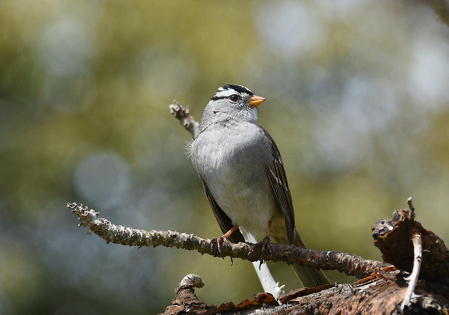 Portrait of White Crowned Sparrow by Fraida Gutovich