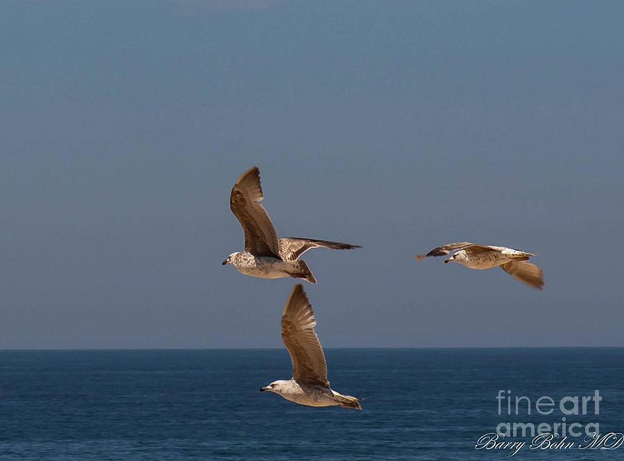 Portugese gulls by Barry Bohn
